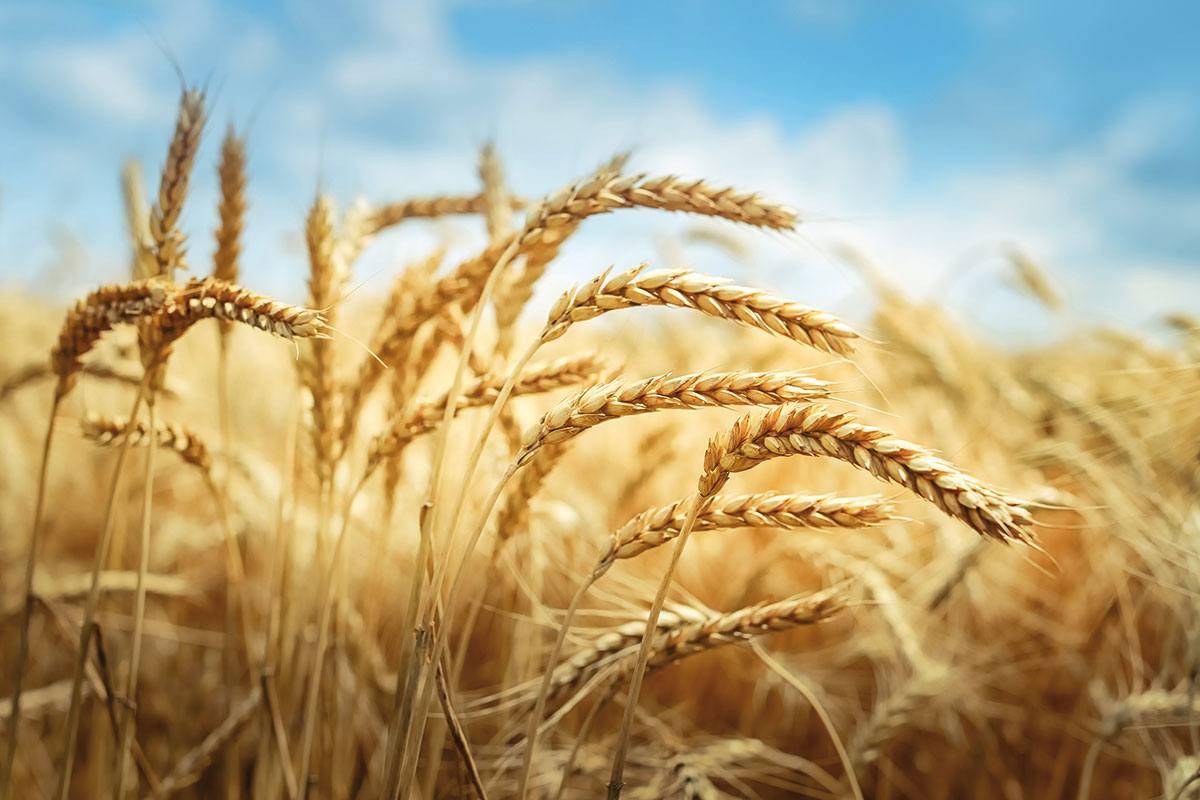 Cereali autunno vernini