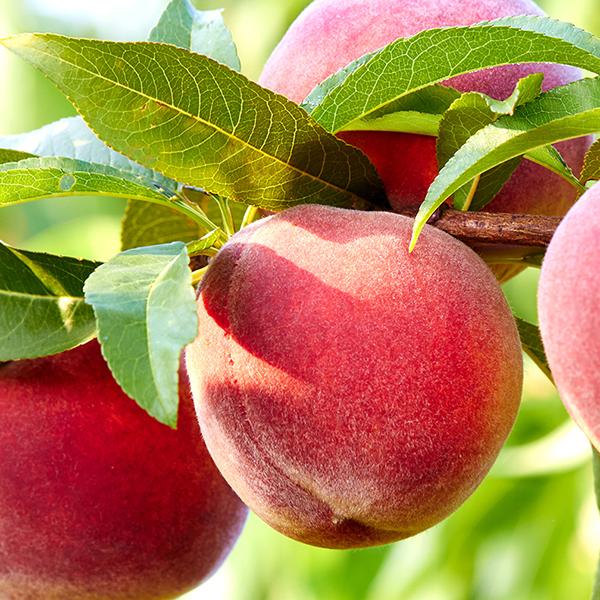 Un piccolo frutteto in giardino e in terrazzo