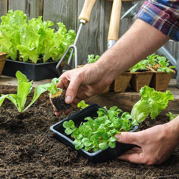Lattughine in vaso e nell'orto: facili e velocissime