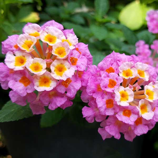 Shopping verde: nuove idee per i fiori in balcone e giardino