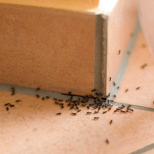 Stop a formiche e altri insetti fastidiosi