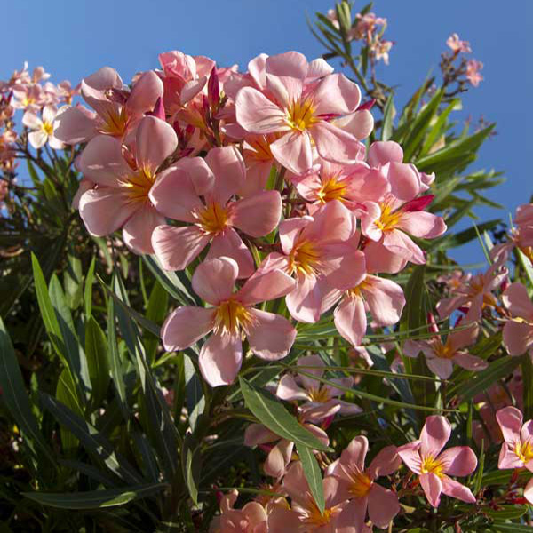 Tre arbusti che fioriscono in estate