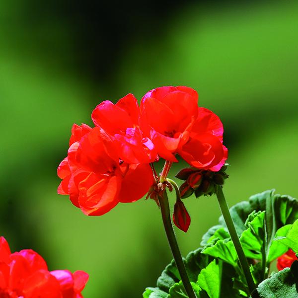 Proteggere i gerani e stimolare una ricca fioritura