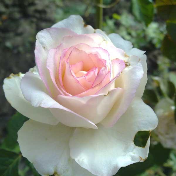 Rose, come farle rifiorire bene