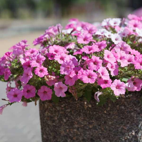I fiori che non hanno paura del gran caldo