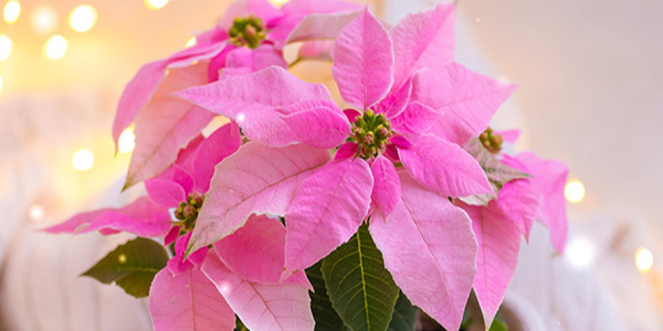 Foto Stella Di Natale.La Stella Di Natale Una Bellezza Da Proteggere Cifo