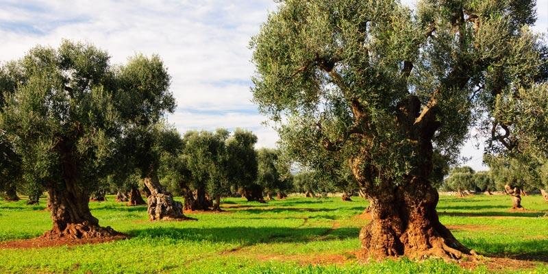 olivo-nutrizione-bilanciata
