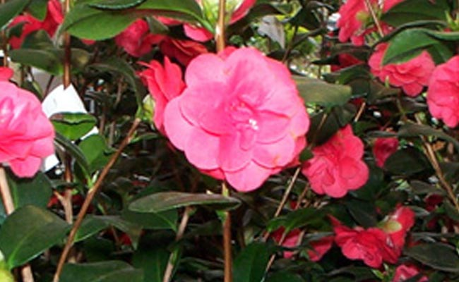 Category archive for ornamentali cifo - Trapianto camelia ...