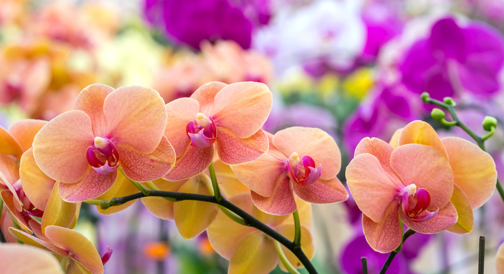 orchidee web