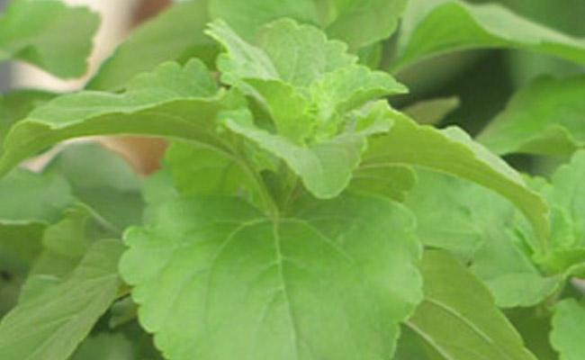 Stevia cifo for Stevia pianta