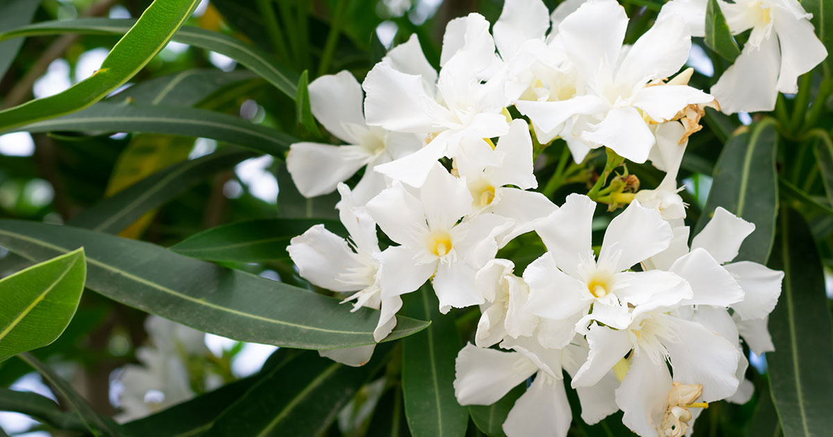 tre-arbusti-da-piantare-in-inverno---oleandro
