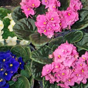 Violetta africana cifo for Violetta africana